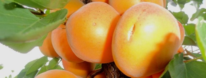 15 лучших сортов абрикоса: описание и характеристика, их морозостойкость, транспортабельность и вкусовые качества (фото & видео) +отзывы