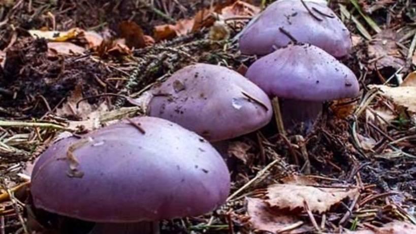 Рядовка фиолетовая — википедия. что такое рядовка фиолетовая
