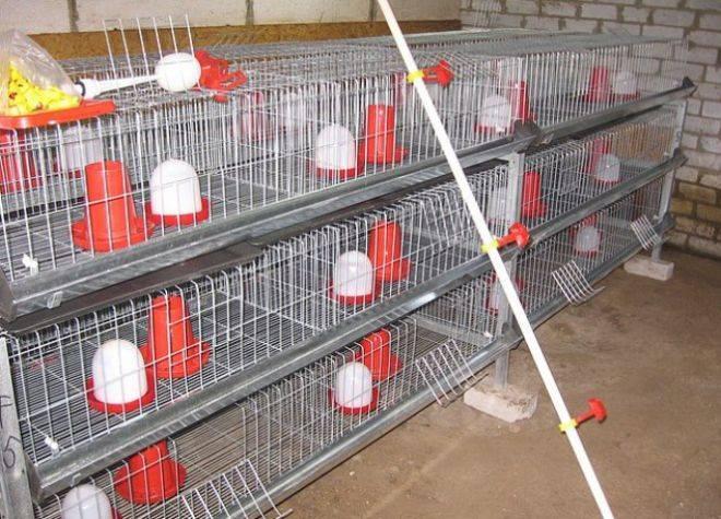 Условия для содержания цесарок зимой в домашних условиях