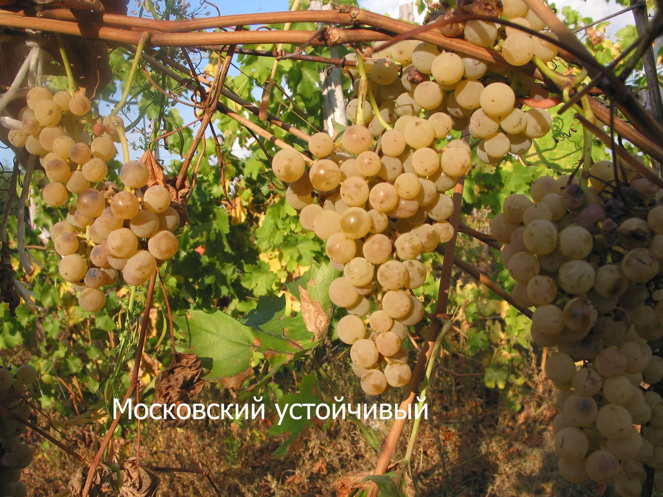 Почему листья винограда светлеют, желтеют и сохнут в период цветения, что делать