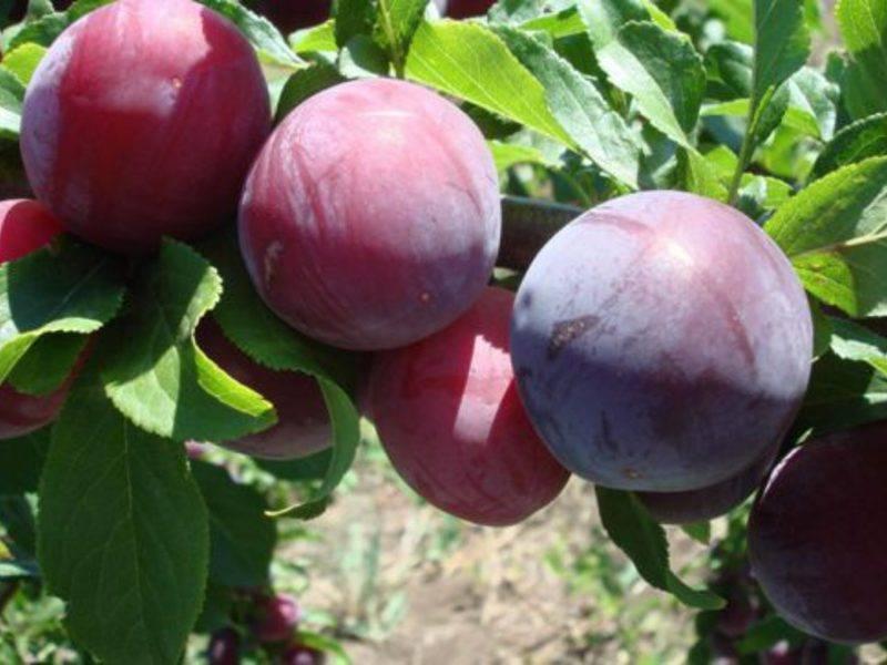 Слива ренклод – описание сорта фото плодов и их характеристики