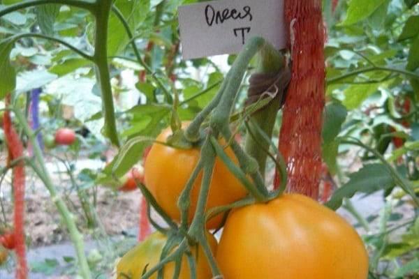 Сорт помидор олеся