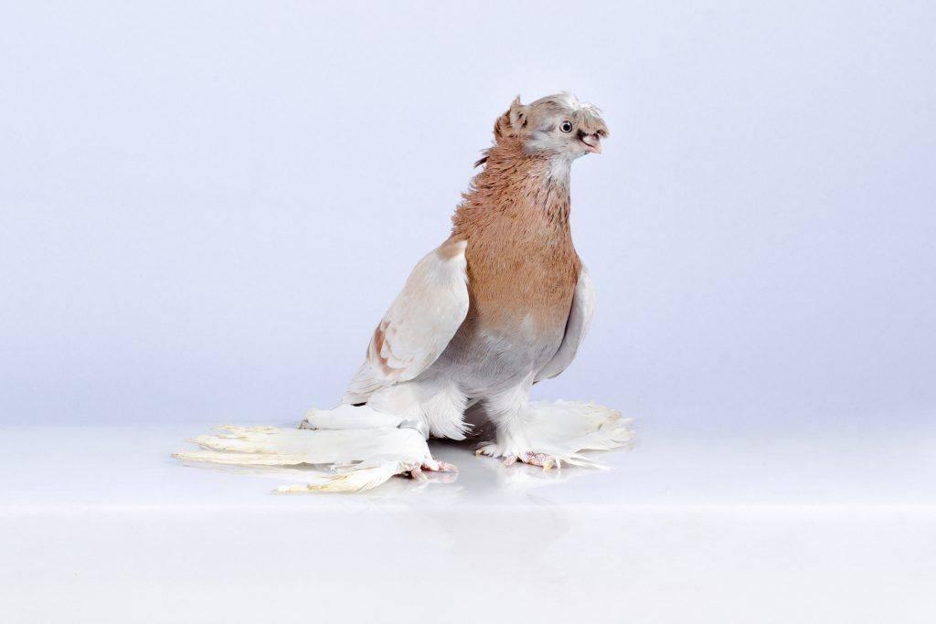 Узбекские голуби (20 фото): особенности бойной породы, двухчубые и декоративные виды