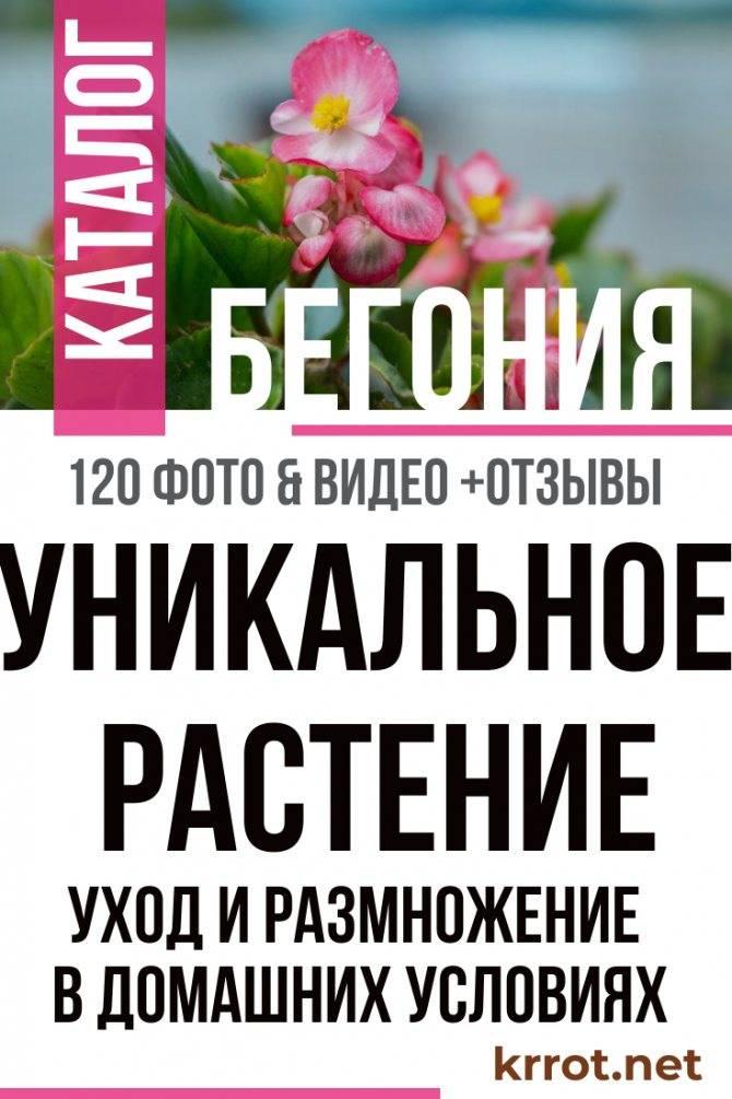 Бегония вечноцветущая (30 фото): сорта бегонии всегдацветущей и уход за ней в домашних условиях, размножение бегонии черенками