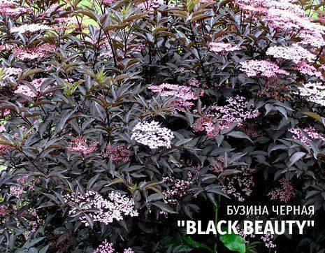 Кустарники — бузина черная black beauty и black tower