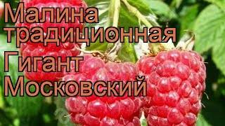 Малина московский гигант описание сорта фото отзывы
