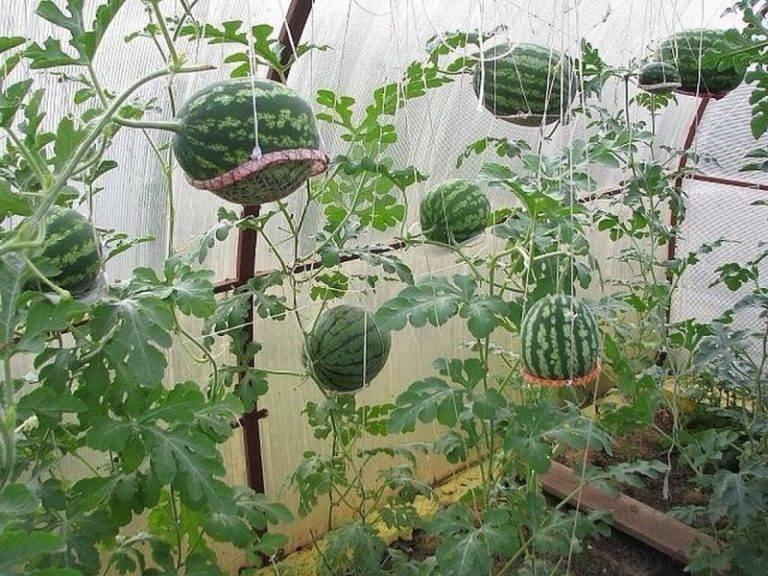 Как вырастить арбуз и дыню в теплице ⭐ в подмосковье в парнике + на даче ⭐ видео + фото