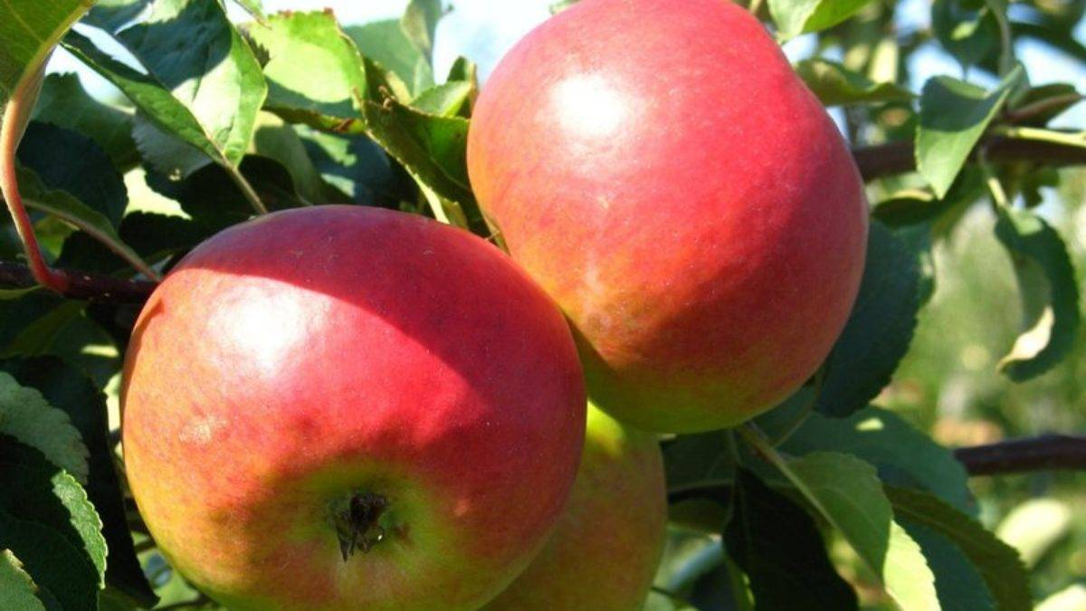 Яблоня жигулевское: описание и фото, разновидности сорта, урожайность, сроки цветения, морозостойкость, особенности выращивания, подкормки, болезни и вредители