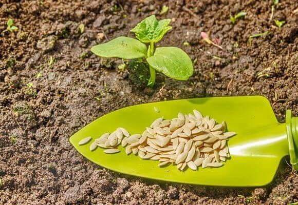 Через сколько дней всходит петрушка после посева: долго ли или быстро, в какой срок прорастают семена в открытом грунте, когда время посадки в теплице, как выглядит? русский фермер
