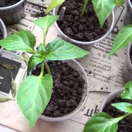 """Перец """"богатырь"""": особенности выращивания урожайного сорта"""