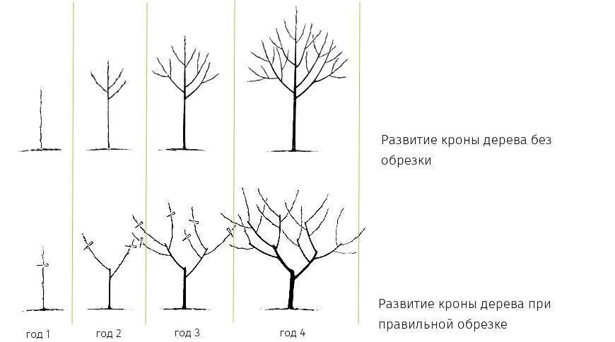 Обрезка плодовых деревьев осенью: особенности процедуры, схема, преимущества и недостатки