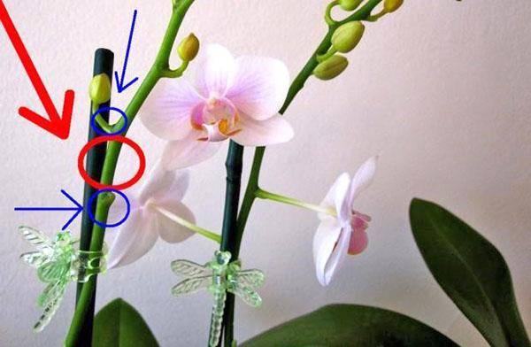 Что делать, если у орхидеи засох стебель? основные причины, последствия и способы их избежать