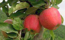 Колоновидные яблони для урала: отзывы, сорта с фото и описанием, посадка и уход