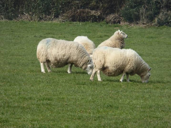 Как проходит беременность у овцы?