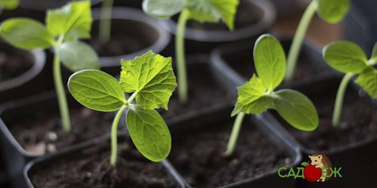 Когда и как сажать огурцы (семенами и рассадой) в теплицу в 2021 году