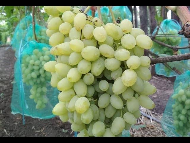 Виноград зарница (аркадия раняя) — описание, фото, селекция, особенности выращивания сорта