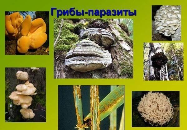 Грибы паразиты злаковых растений: представители, жизненный цикл