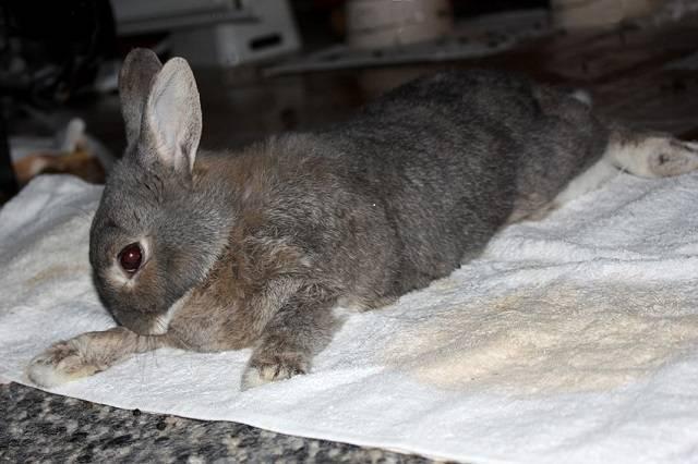 Узнайте как спасти своих заек от кокцидиоза