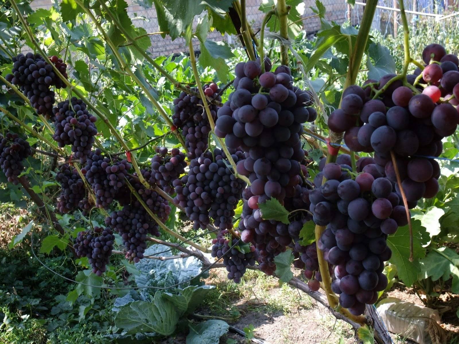 Сорт винограда кодрянка с его описанием, посадка и уход