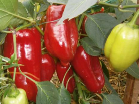 Выращивание перца в ленинградской области