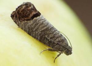 Цветоед на яблоне и методы борьбы с ним: эффективно избавляемся от вредителя