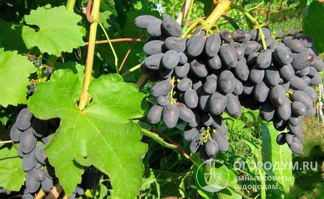 Сорт винограда кодрянка — описание и правила выращивания