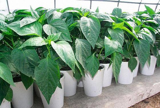 Пошаговая инструкция по выращиванию рассады перца в домашних условиях: правильная посадка семян, уход за молодыми всходами, как закалить и вырастить хорошую рассаду