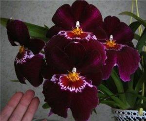 Секреты активного роста и цветения орхидеи мильтония