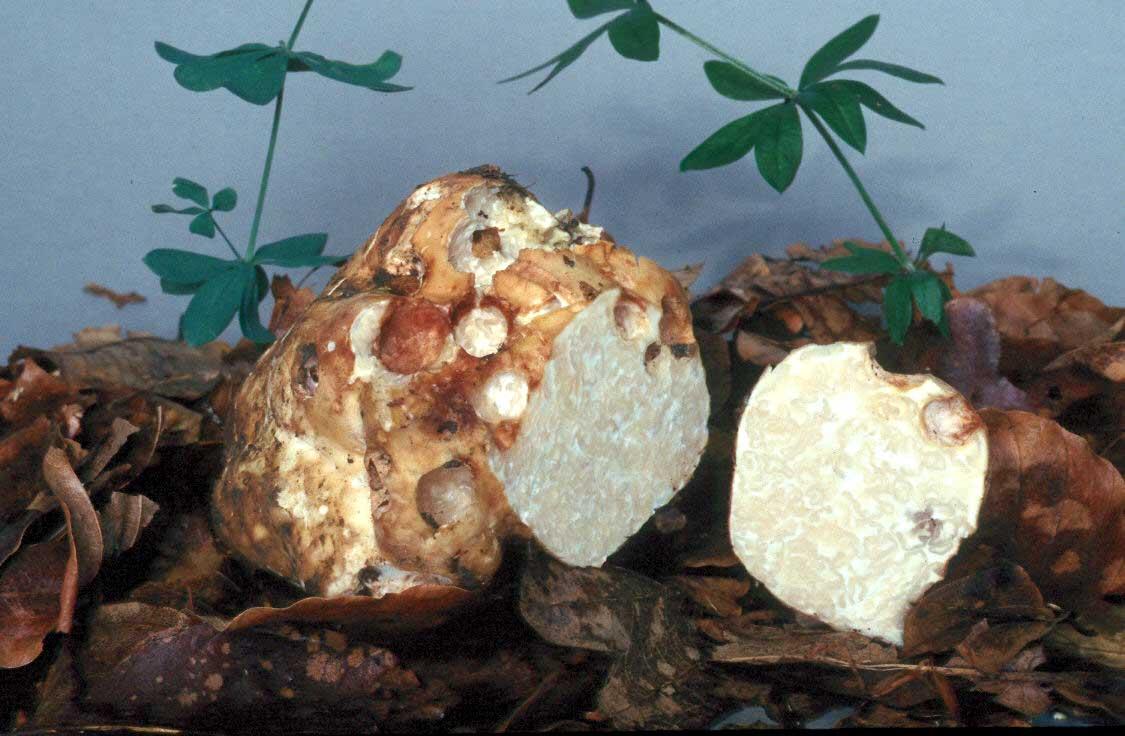 Трюфель — король грибов: описание, виды, где растет и как собирать драгоценный гриб — деликатес