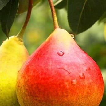 Когда снимать груши с дерева. как определить съемную спелость груши?   дача – впрок   дачная жизнь