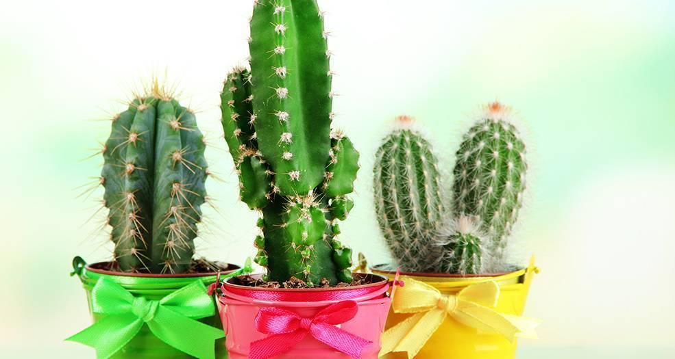 Кактус (77 фото): как ухаживать за ним зимой в домашних условиях? описание больших и маленьких комнатных кактусов. сколько живут?
