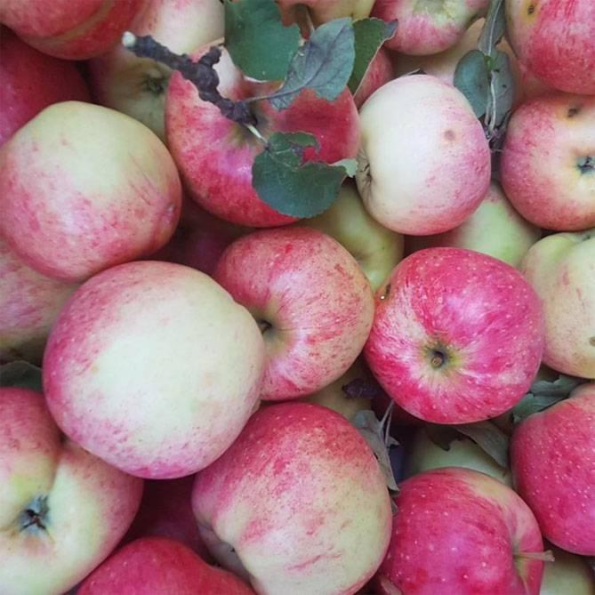 Колоновидные яблони для подмосковья: сорта, отзывы, фото, описание, посадка