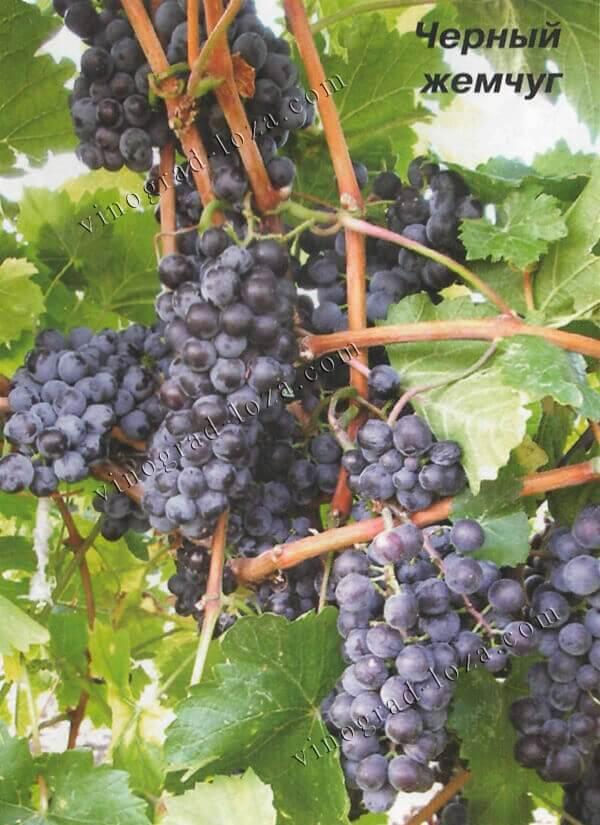 Виноград чёрный жемчуг: характеристика и особенности посадки сорта