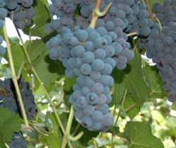 Оригинальный сорт с высокой популярностью — виноград «аметист новочеркасский»