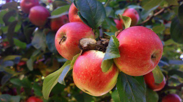 """Сорт яблони """"мечта"""": достоинства и недостатки, посадка и уход"""