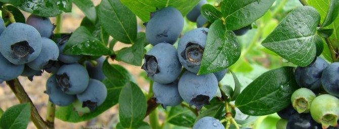 Голубика садовая: посадка и уход в открытом грунте с пошаговыми фото