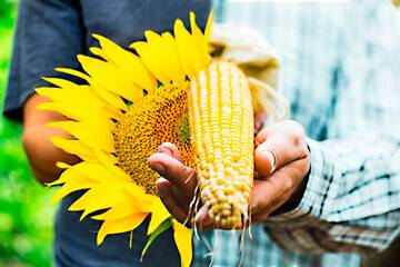 Подсолнечник. обзор гибридов семян подсолнечник syngenta® описание, свойства и цены