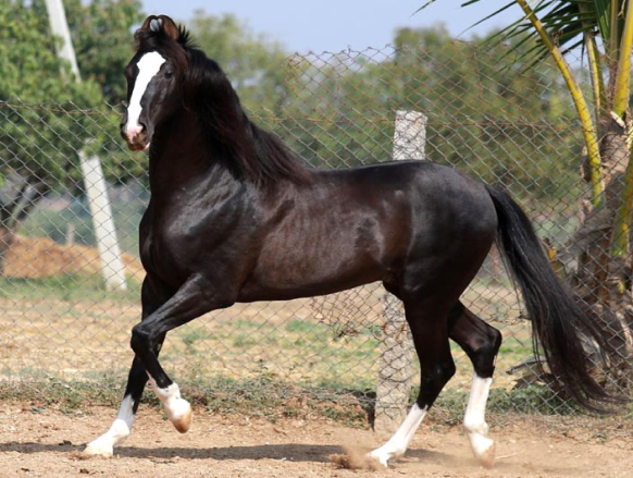 Марварские лошади