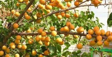 Абрикос погремок: описание сорта, преимущества и недостатки, пищевая ценность и вкус плодов, особенности ухода в осенний период, отзывы и советы