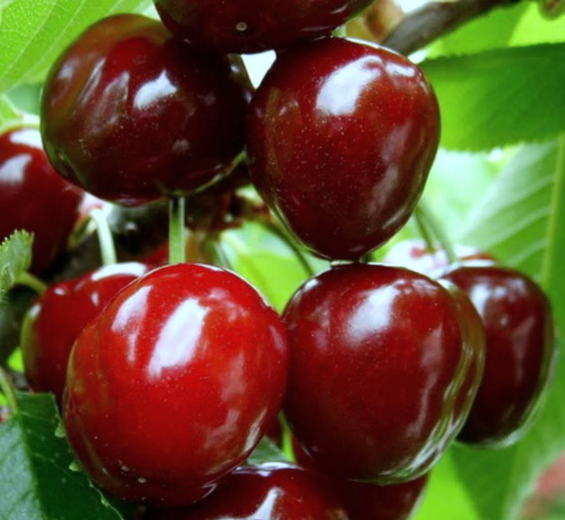 Чудо вишня – описание сорта, фото, отзывы, опылители
