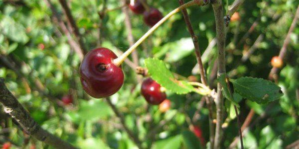 Болезни вишни и борьба с ними, фото, описание