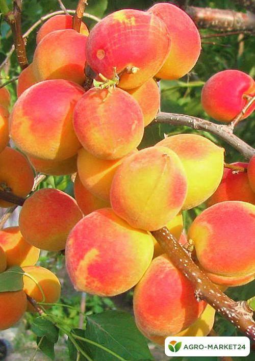Описание сорта абрикоса саратовский рубин, характеристика и опылители - всё про сады