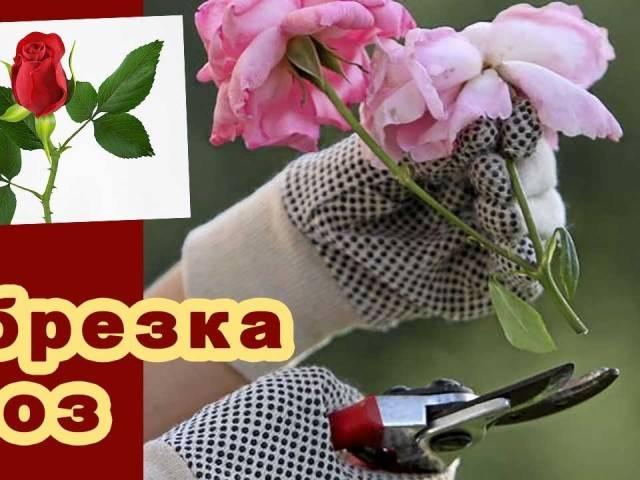Как и когда правильно обрезать розы весной