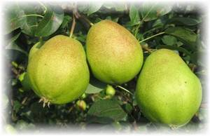 О сорте груши анжу (киффер): описание, особенности выращивания, как ухаживать