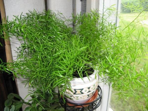 Аспарагус серповидный (фалькатус): фото и подробное описание комнатного растения, а также особенности ухода за ним в домашних условиях