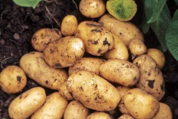 ✅ о картофеле лидер: описание семенного сорта картофеля, характеристики, агротехника - tehnomir32.ru