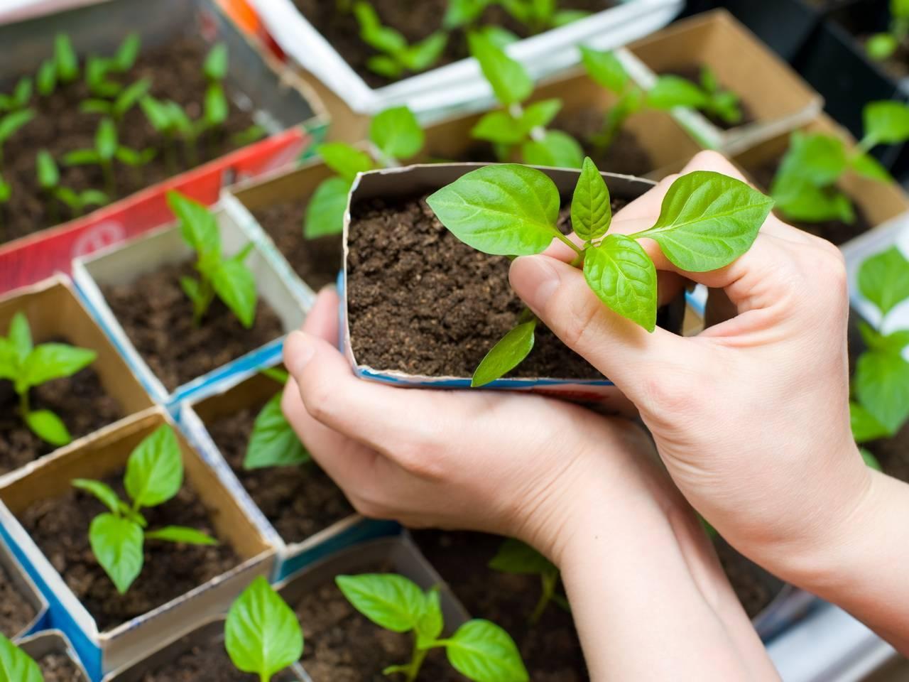 Выясняем чем подкормить рассаду перцев, а также когда и как часто это делать, какие удобрения использовать