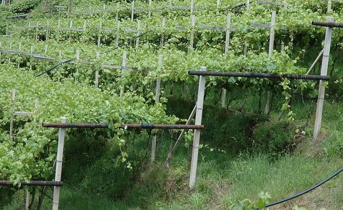 Особенности выращивания винограда в подмосковье и средней полосе
