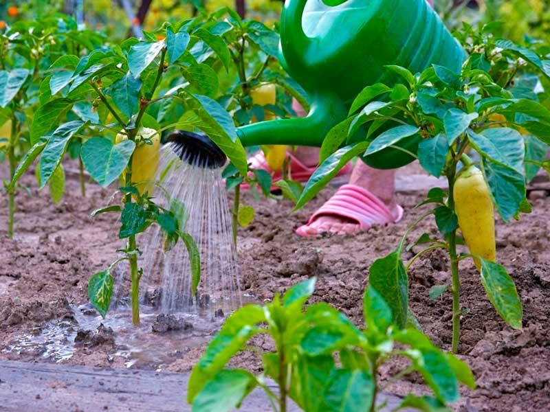Как правильно поливать перец в открытом грунте - частота, обильность и подкормка при поливе (85 фото и видео)