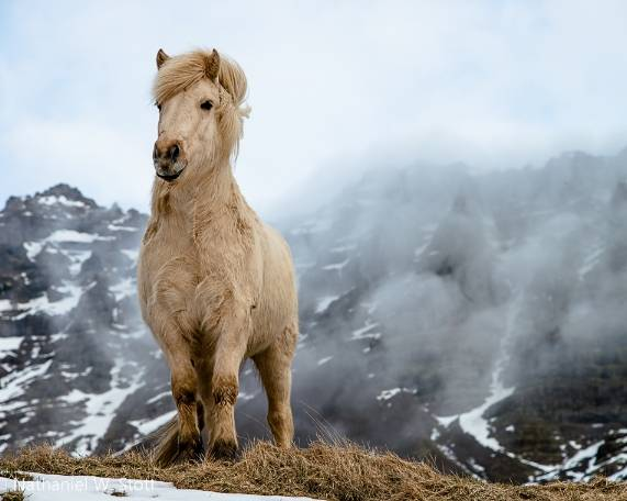 Исландская собака: фото и описание исландская собака: фото и описание